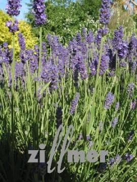 Lavandula angustifolia 'Twickel Purple', Lavendel - Bild vergrößern