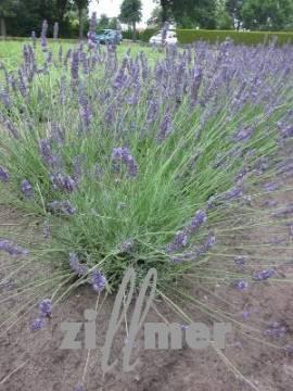 Lavandula intermedia 'Arabian Nights', Lavendel, Provence  Lavendel - Bild vergrößern