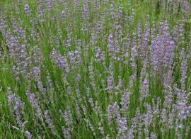 Lavandula angustifolia 'Dwarf Blue' Lavendel - Bild vergrößern