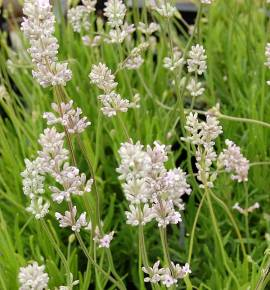 Lavendel, Lavandula angustifolia 'Hidcote Pink' - Bild vergrößern