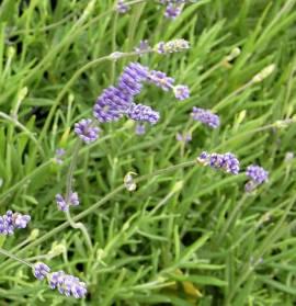 Lavandula angustifolia 'Lumiére des Alpes', Lavendel - Bild vergrößern