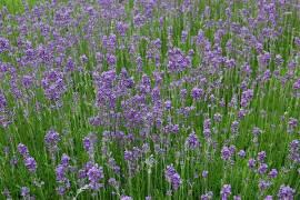 Lavandula angustifolia 'Munstead' Lavendel - Bild vergrößern