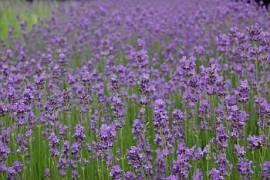Lavendel, Lavandula angustifolia 'Munstead' - Bild vergrößern