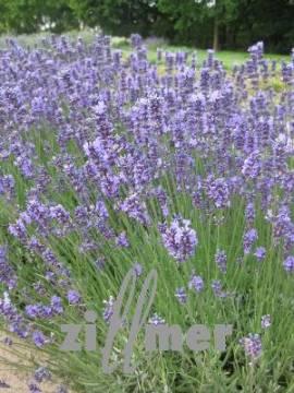 Lavandula angustifolia 'Siesta', Lavendel - Bild vergrößern