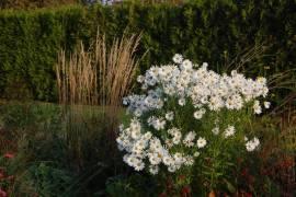 Leucanthemella serotina 'Herbststern', Herbstmargerite - Bild vergrößern