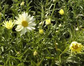 Leucanthemum Maximum - Hybride ' Sonnenschein', hellgelbe Sommermargerite - Bild vergrößern