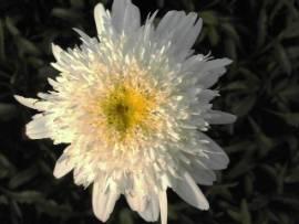 Margerite, Leucanthemum Maximum - Hybride ' Stina', gefüllte Sommermargerite - Bild vergrößern