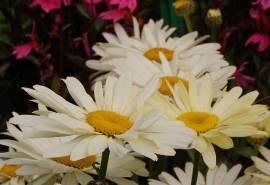 Leucanthemum Maximum - Hybride ' Banana Cream', hellgelbe Sommermargerite - Bild vergrößern