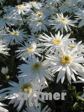 Leucanthemum Maximum - Hybride 'Christine Hagemann', Sommermargerite - Bild vergrößern