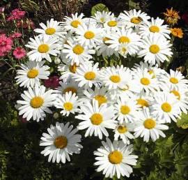 Leucanthemum x Superbum 'Dwarf Snow Lady', Sommermargerite - Bild vergrößern
