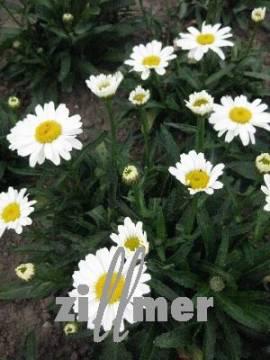 Leucanthemum x Superbum 'Little Miss Muffet', Sommermargerite - Bild vergrößern