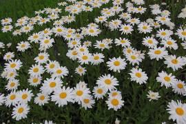 Leucanthemum Maximum - Hybride 'Gruppenstolz', Sommermargerite - Bild vergrößern