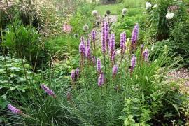 Liatris spicata 'Floristan Violett' Prachtscharte - Bild vergrößern