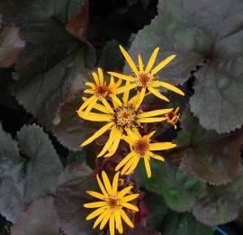 Ligularia dentata 'Britt-Marie Crawford' ® , Purpur-Greiskraut - Bild vergrößern