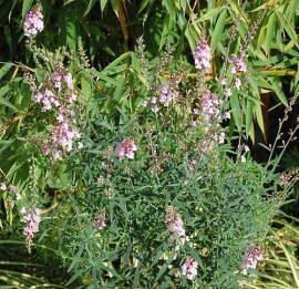 Linaria purpurea 'Canon J. Went', Leinkraut - Bild vergrößern