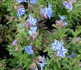Lithodora diffusa 'Star', Steinsame - Bild vergrößern