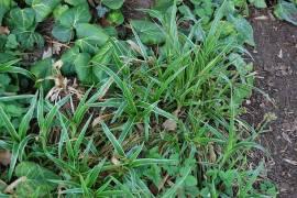Luzula sylvatica  'Marginata', Waldmarbel - Bild vergrößern