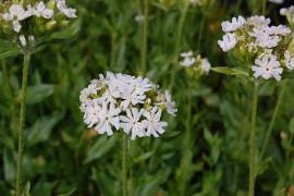 Lychnis chalcedonica 'Alba', Brennende Liebe - Bild vergrößern