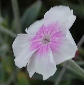Lychnis coronaria 'Angel's Blush' (Oculata), Lichtnelke, Vexiernelke - Bild vergrößern