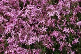 Kuckucksblume, Kuckuckslichtnelke, Lychnis flos-cuculi - Bild vergrößern
