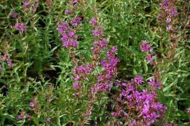 Lythrum virgatum 'Dropmore Purple', Ruten - Blutweiderich - Bild vergrößern