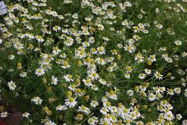 Matricaria recutica, Matricaria chamomilla, echte Kamille - Bild vergrößern