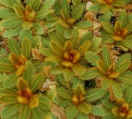 Meconopsis paniculata  Rarität, Scheinmohn - Bild vergrößern