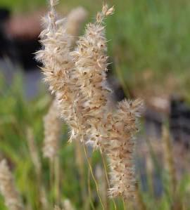 Melica ciliata, Perlgras - Bild vergrößern