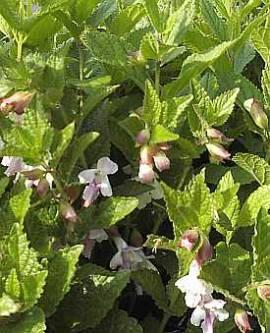 Melittis melissophyllum, Immenblatt - Bild vergrößern