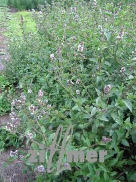 Mentha spicata 'Black Spearmint', Dunkle Minze - Bild vergrößern