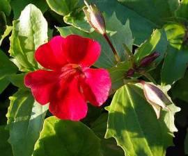 Gauklerblume, rot, Mimulus cupreus 'Roter Kaiser' - Bild vergrößern