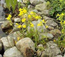 Gauklerblume, gelb,  Mimulus luteus - Bild vergrößern