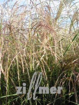 Miscanthus sinensis 'Kleine Fontäne'  Chinaschilf - Bild vergrößern