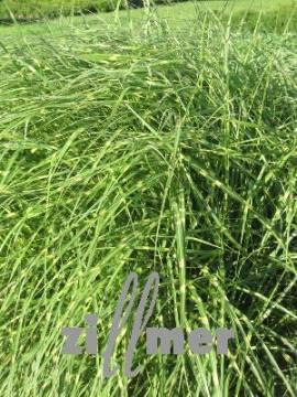 Miscanthus sinensis 'Little Zebra'® Chinaschilf Stachelschweingras - Bild vergrößern