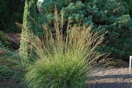 Molinia caerulea 'Moorhexe', Pfeifengras - Bild vergrößern