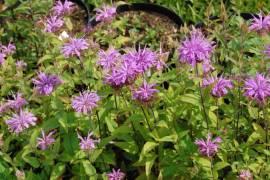 Indianernessel, Monarda fistulosa ssp. Menthifolia - Bild vergrößern