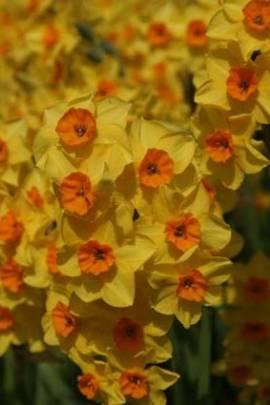 Narcissus 'Falconet', botanische Narzissen - Bild vergrößern