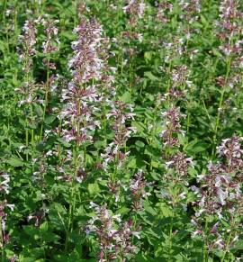 Katzenminze, Nepeta grandiflora, 'Dawn to Dusk' rosa - Bild vergrößern