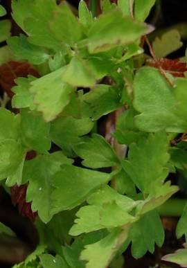 Oenanthe aquatica, Wasserfenchel - Bild vergrößern