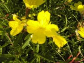 Oenothera speciosa 'Gelb', Nachtkerze - Bild vergrößern