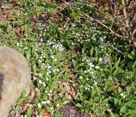 Gedenkemein, weiß, Omphalodes verna 'Alba' - Bild vergrößern