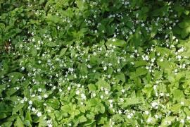 Omphalodes verna 'Alba' Gedenkemein, weiß - Bild vergrößern