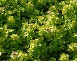 Origanum vulgare 'Thumbles Variety', Dost - Bild vergrößern