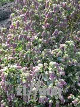 Origanum rotundifolium 'Hopfenblüte', Hopfen - Dost - Bild vergrößern