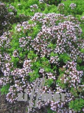 Origanum vulgare 'Compactum', Dost - Bild vergrößern