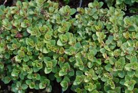Dost, Oregano, Origanum vulgare 'Nanum' - Bild vergrößern