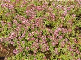 Origanum vulgare 'Compactum',  Oregano - Bild vergrößern
