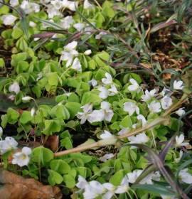Oxalis acetosella, Wald-Sauerklee - Bild vergrößern