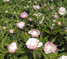 Paeonia lactiflora - Hybride 'Katharina Fonteyn', Edel-Pfingstrose - Bild vergrößern