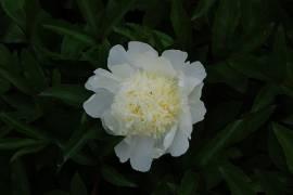 Paeonia lactiflora - Hybride 'Charles White', Edel-Pfingstrose - Bild vergrößern